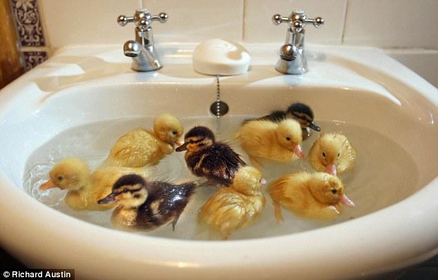 Baby Ducks are Hatching!