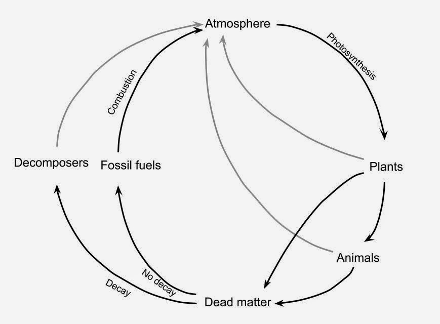 A2 biology the importance of respiration photosynthesis and human carbon goes round in a cycle below is a diagram to show this the three grey lines from plants animals and decomposers show carbon being put back into ccuart Gallery