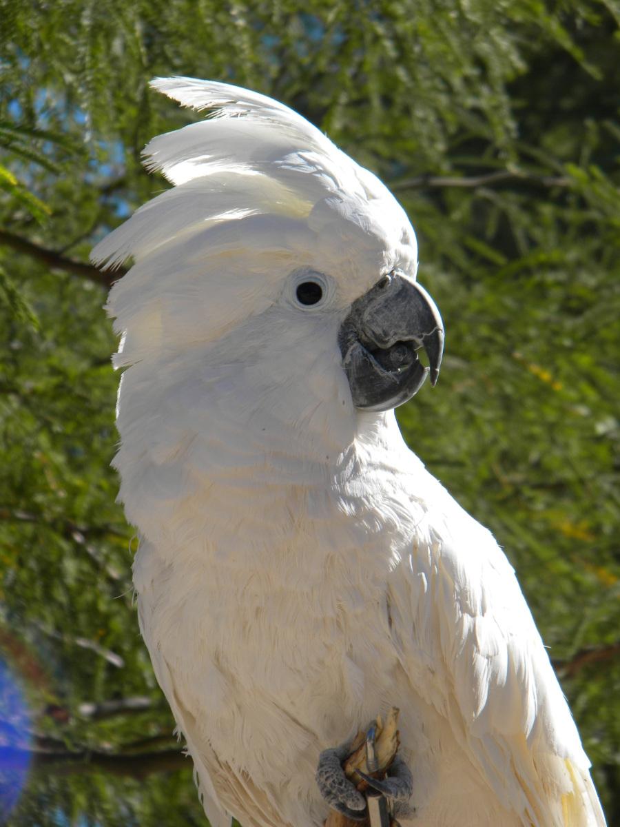 Umbrella Cockatoo 16