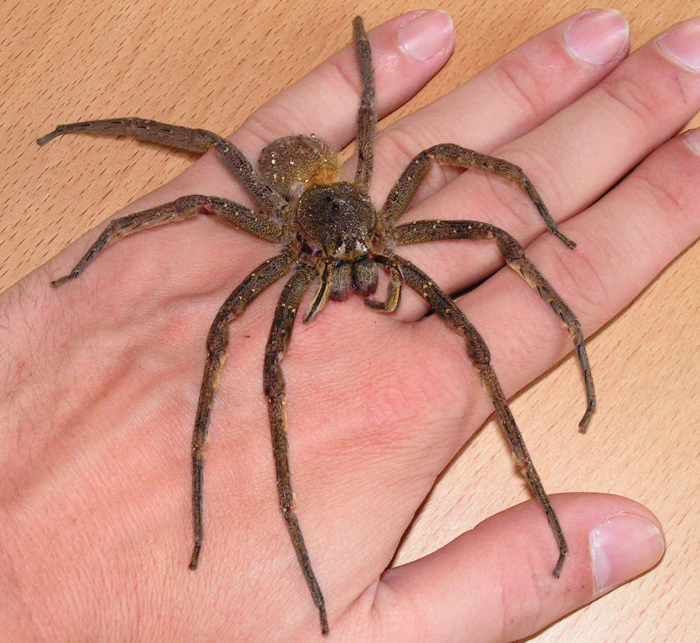 Brazilian Wandering Spider on Will You Define Food Chain Web And