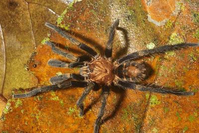 hunting spiders Nicaragua