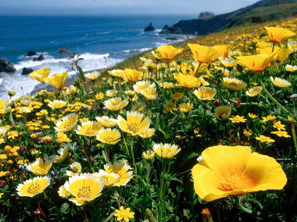 http://2.bp.blogspot.com/-OwgVfeH5AGg/TkNbZJrs8YI/AAAAAAAAraE/_zMcy1GfR8s/s1600/AWESOMEYellow-Poppies-California-Coast.jpg