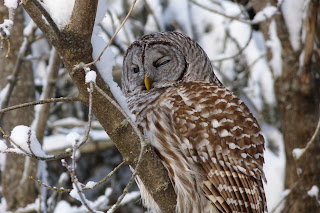 Barred Owl #1