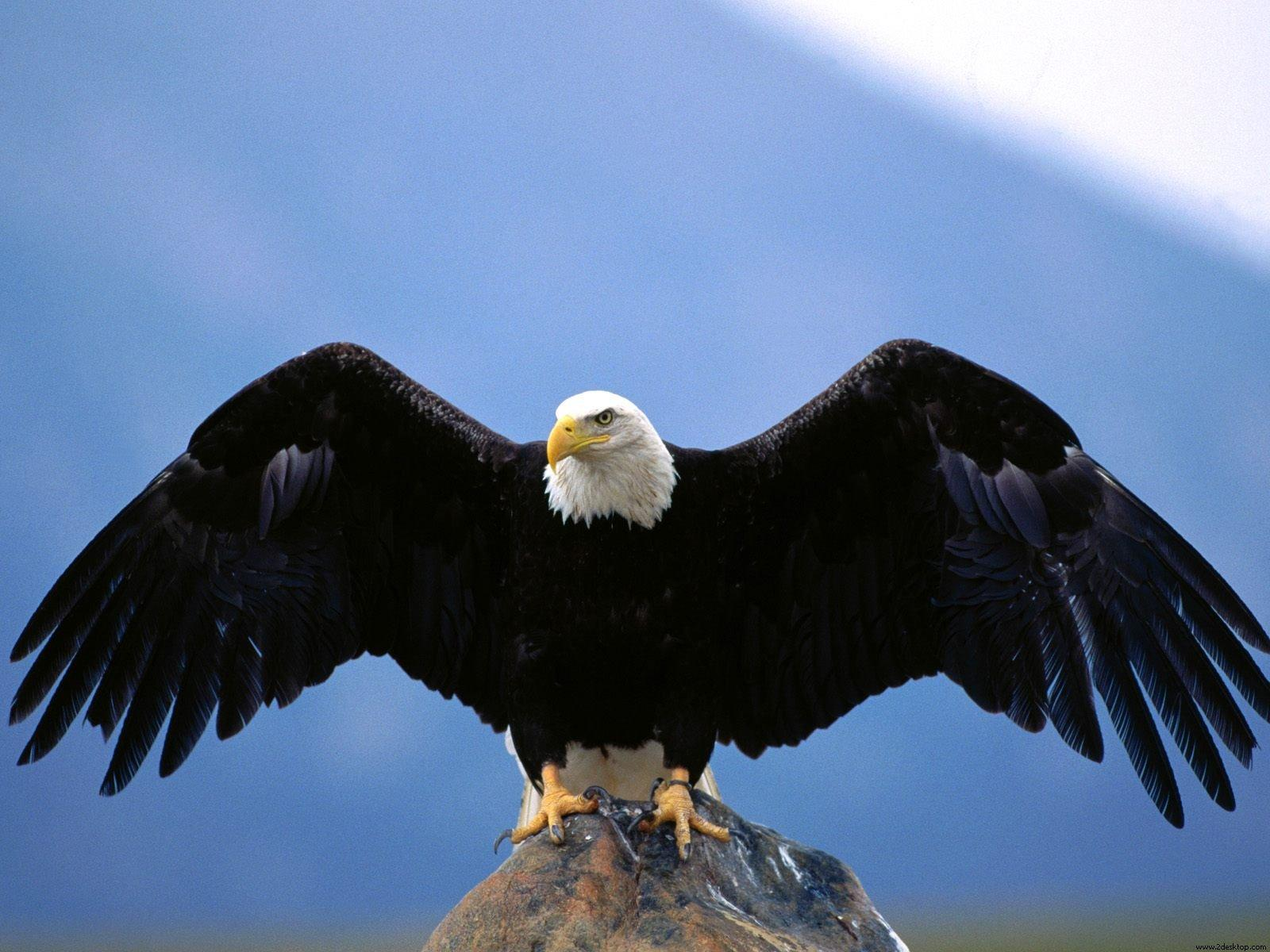 Eagle bird images - photo#3