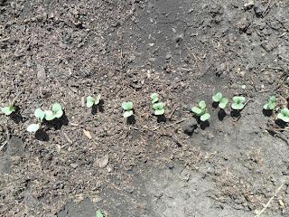 15 мая, редиска после первого прореживания