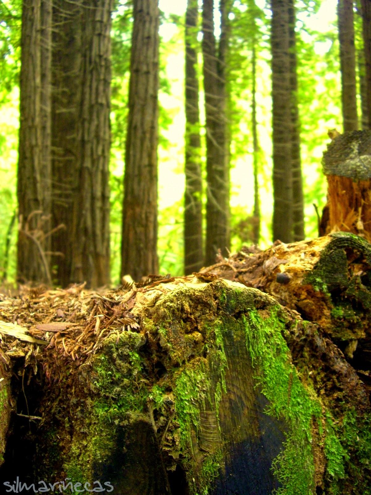 Secuoyas del monte Cabezón, Cantabria