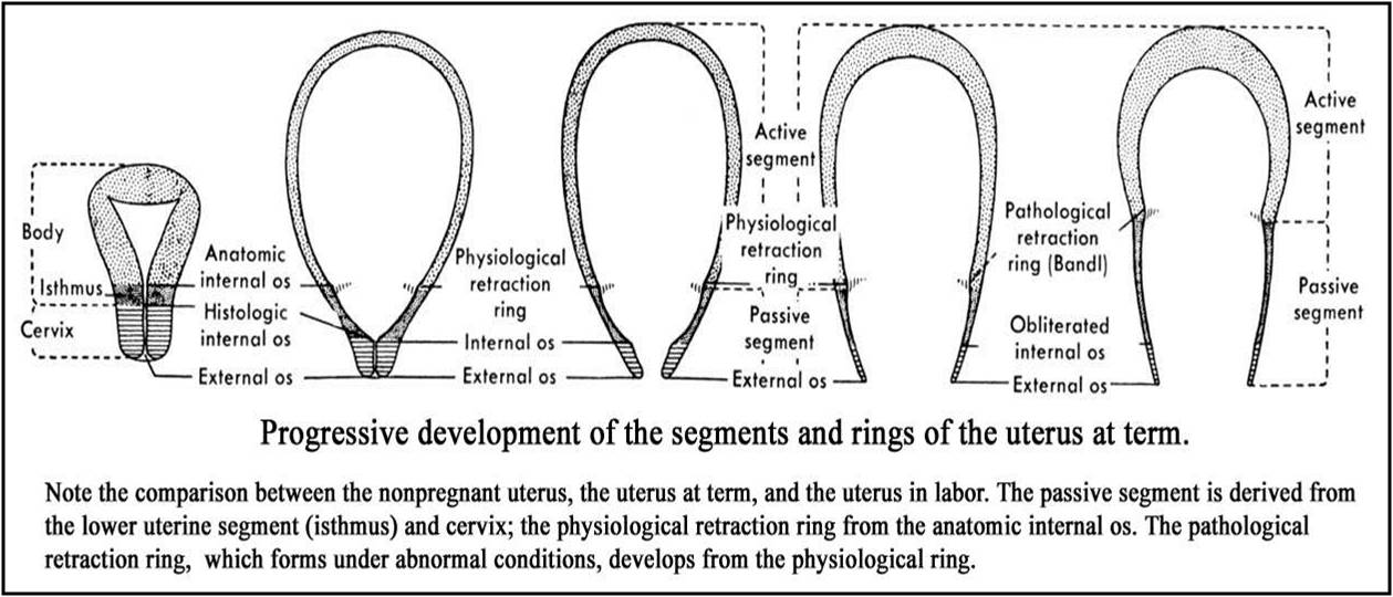 Genital System Changes During Pregnancy