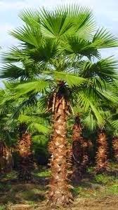 Jual pohon palm sinensis | suplier tanaman | tanaman hias | jasa desain taman
