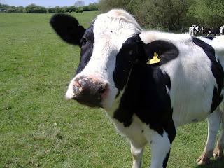 Black and white cow looking into the camera