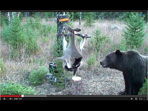 Bigfoot Evidence Watch Montana Grizzly Bear Vs