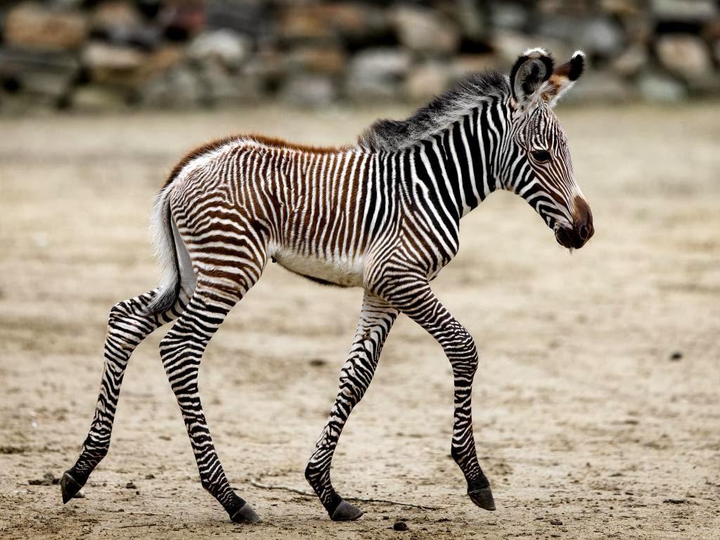 """<img src=""""http://2.bp.blogspot.com/-Oxh8KZ0LRFE/UtgtB0SMnqI/AAAAAAAAITM/1NrCh1UcsrQ/s1600/animal-wallpapers-zebra-baby.jpg"""" alt=""""zebra wallpapers"""" />"""