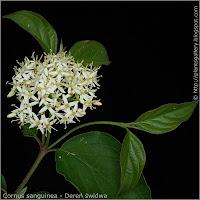 Cornus sanguinea inflorescence - Dereń świdwa kwiatostan