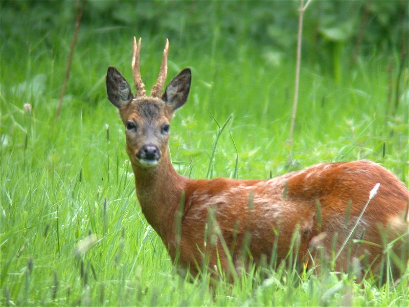 Deer wildlife info facts and photos the wildlife for Capriolo animale