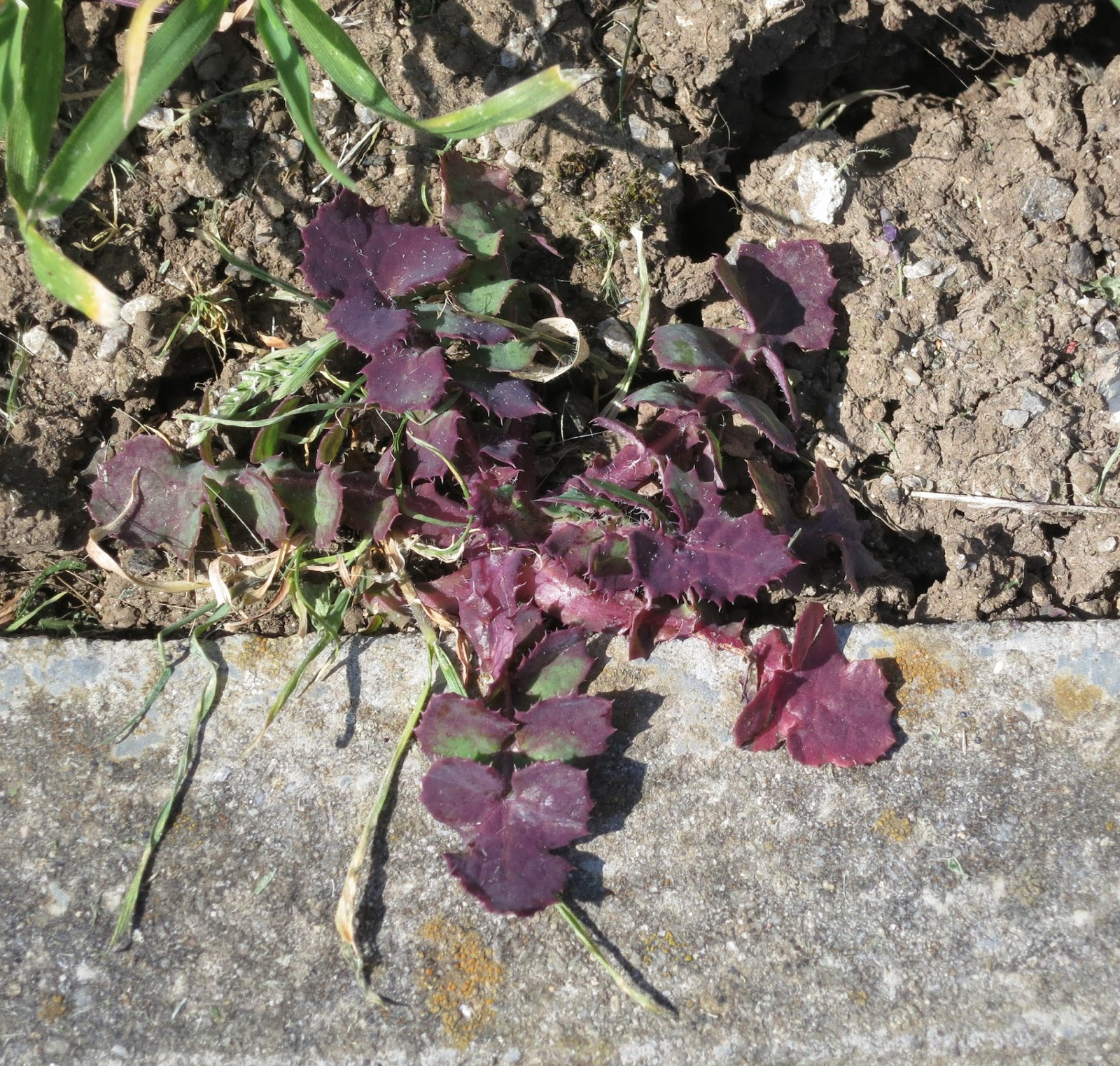 Purple leaves crossing dried earth and stone edge to pavement
