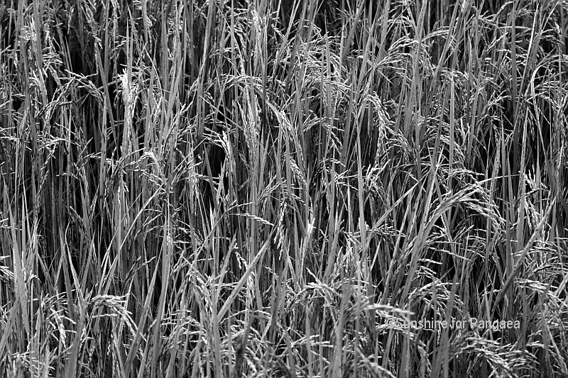 Rice field Black and White Photography