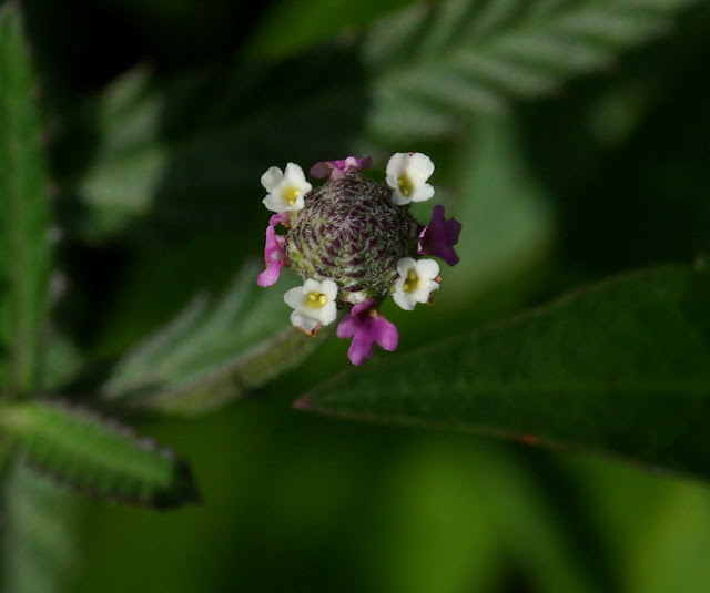 close-up of the flowers of Lippia stoechadifolia