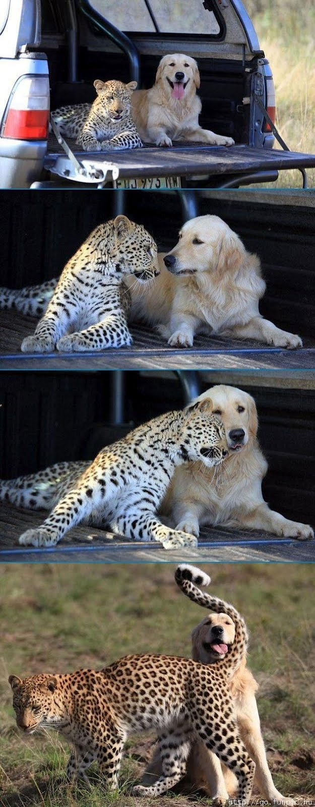 Golden retriever and leopard are friends, animal friendship, interspecies friends, funny animals