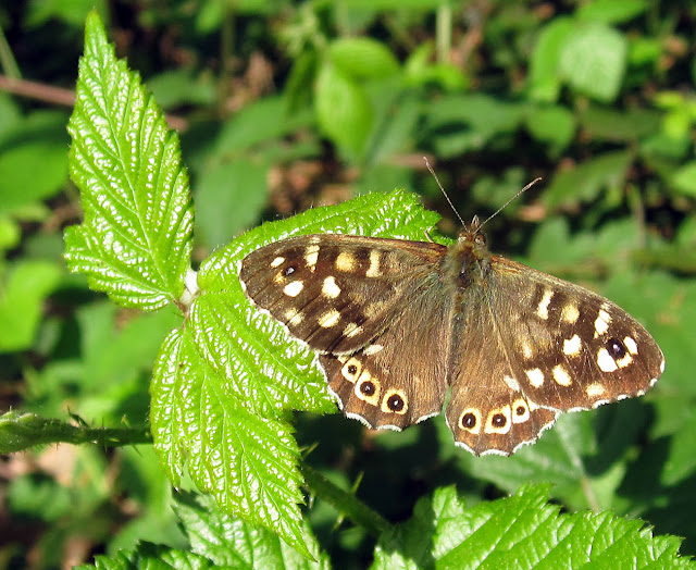 Speckled wood butterfly, Pararge aegeria, resting on a bramble leaf beside a path through woodland. Hayes Common, 30 April 2011.