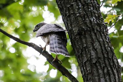 Ястреб тетеревятник. Goshawk. Accipiter gentilis.