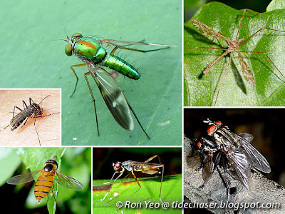 Flies (Order Diptera)