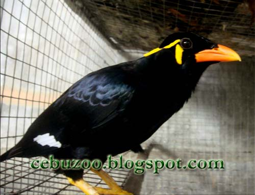 Cebu Zoo Asian Myna