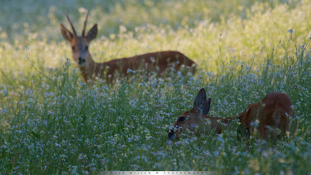 Reeën in Wilde Radijs - Roe Deer in Wild Radish field - Capreolus capreolus