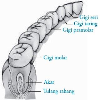 Berbagai bentuk gigi