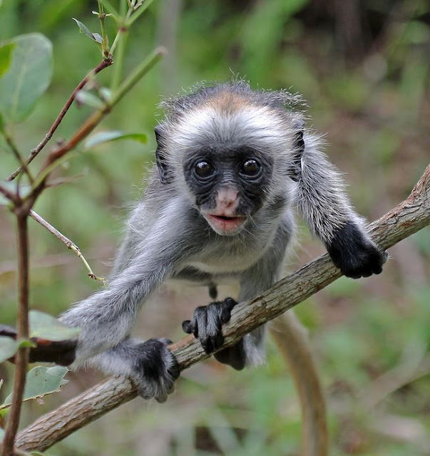 Buy framed print of a baby colobus monkey