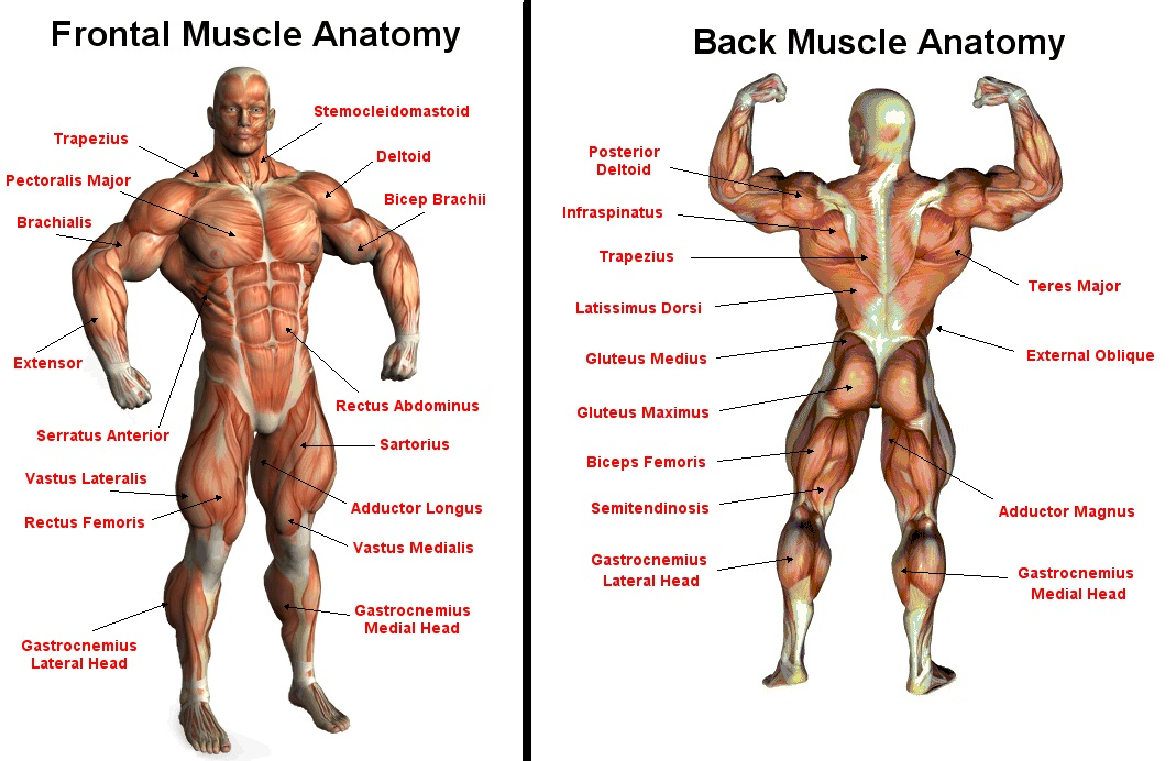 Article   242  Muscle AnatomyAnatomy Of Human Body Muscles
