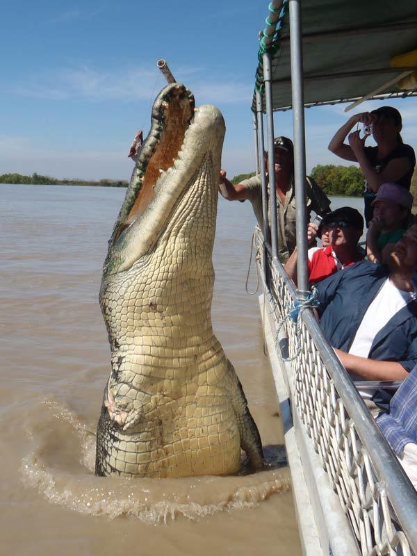 Where do crocodiles secret sex pheromones