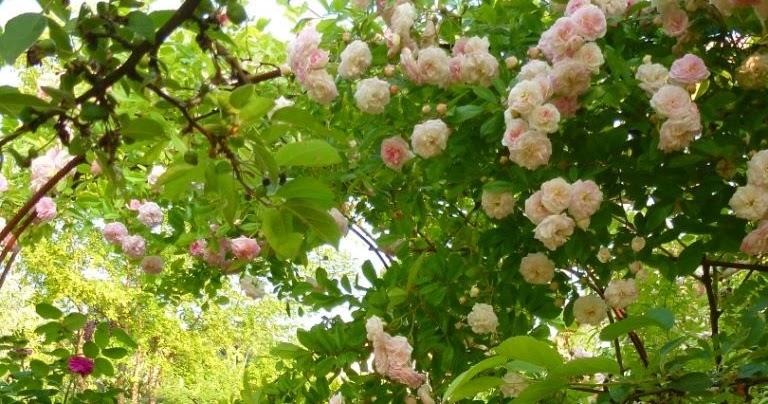 Le jardin des grandes vignes rosier pink ghislaine de f ligonde - Le jardin des grandes vignes ...