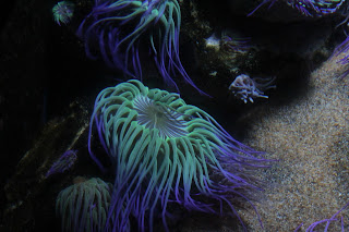 Sea Life Aquarium Anemone
