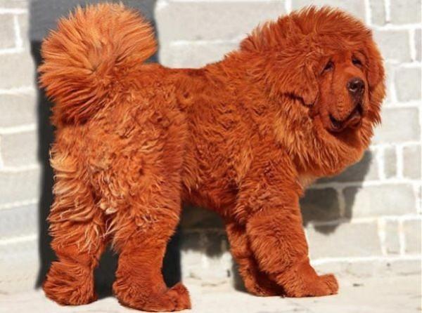 Czerwony Mastiff Tybetański ,najdroższy pies świata