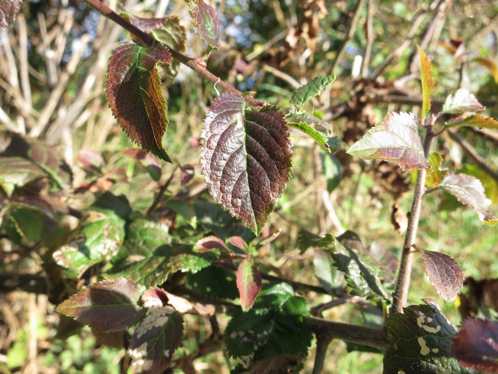 Bronzed bramble leaf