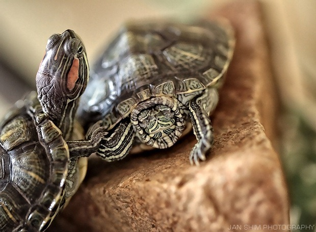Pets: Mini Turtles As Pets