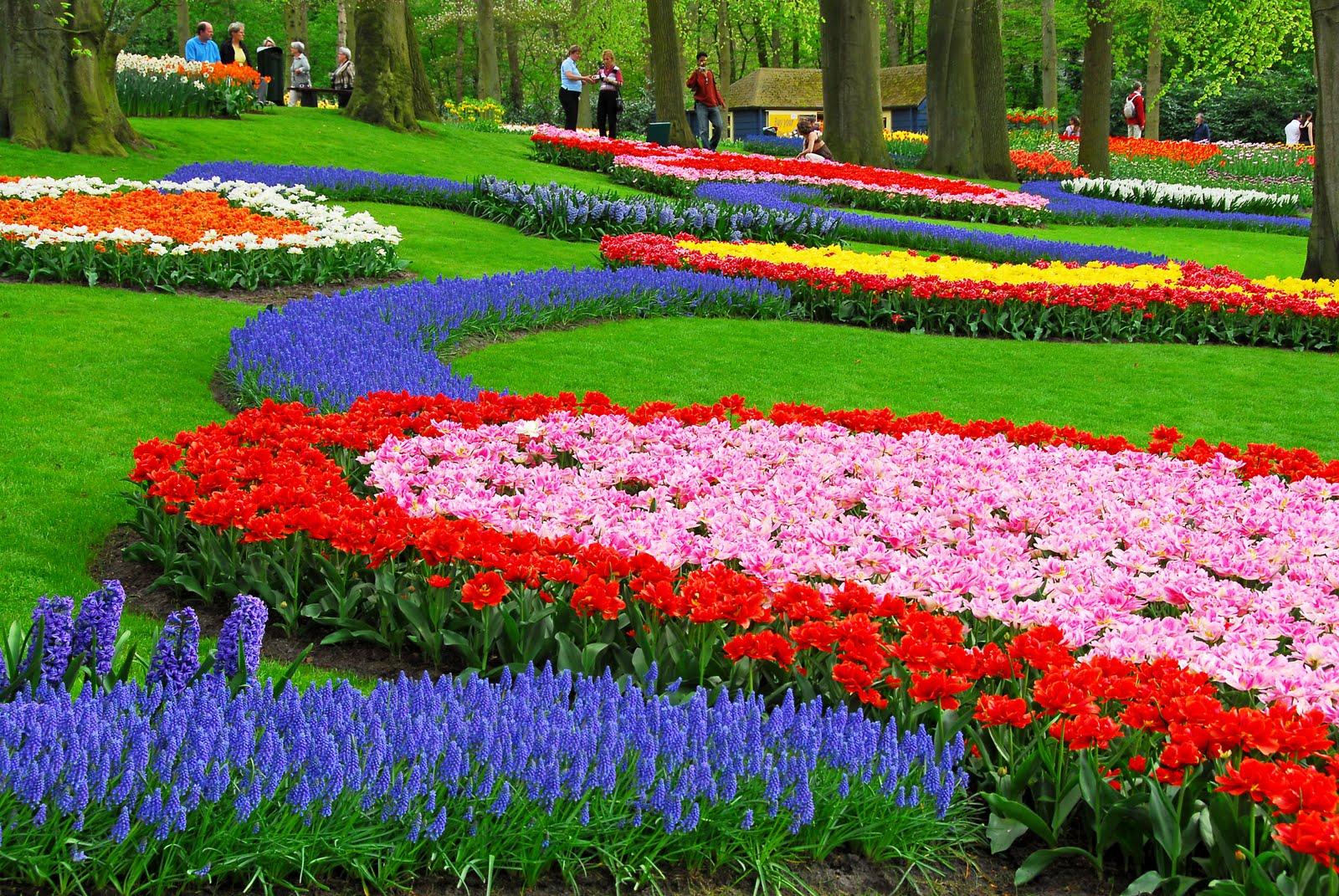 tulipan ne holande