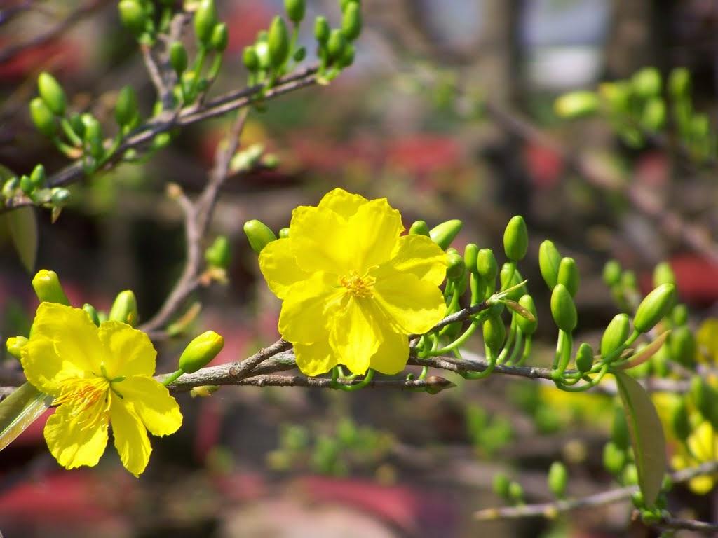 Mẫu tranh hoa mai vàng đẹp treo Tết AmiA 1015 - Tranh đẹp AmiA