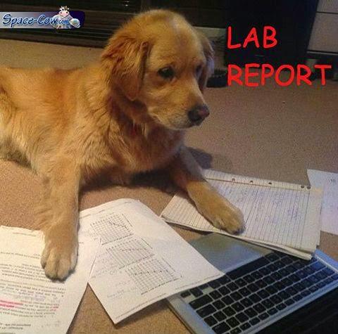 funny labrador dog picture