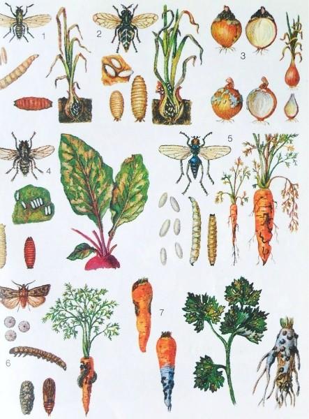 Вредители и болезни лука свеклы и морковки