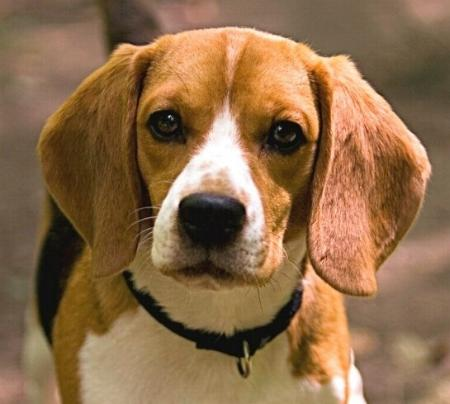 Shiloh The Dog Breed