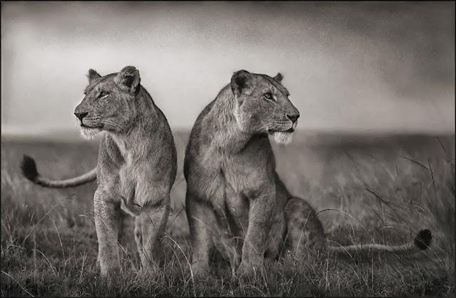 две львицы