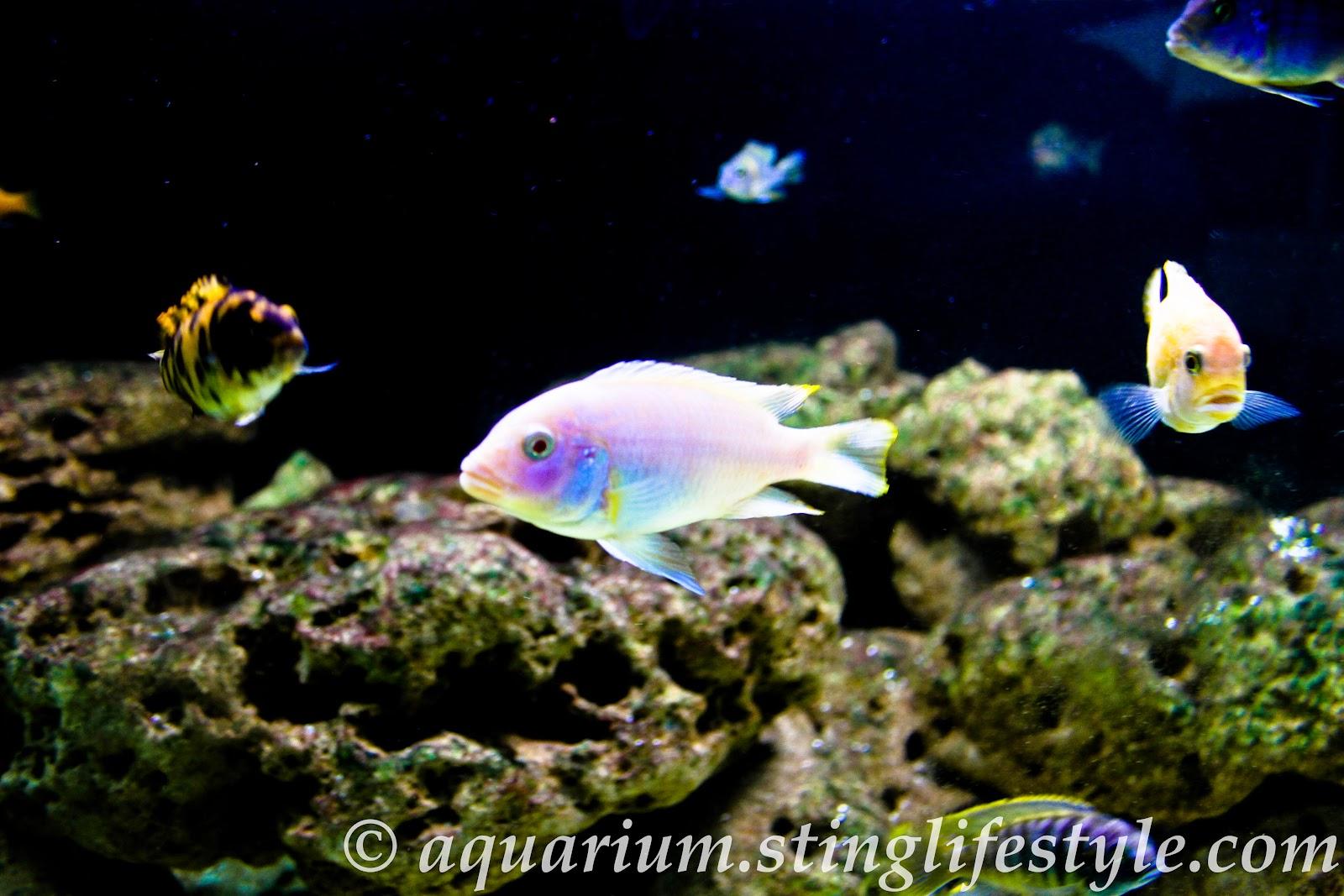 Cichlid aquarium pictures aquarium info for Cichlid fish tank