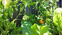 vegetable garden, backyard garden, organic vegetables, tomatoes, cucumbers, kale, romaine, swiss chard