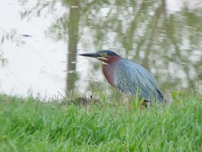 green heron on bank