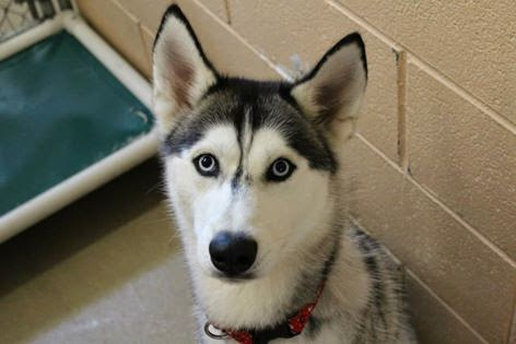 Lost Husky Waiting at the SPCA