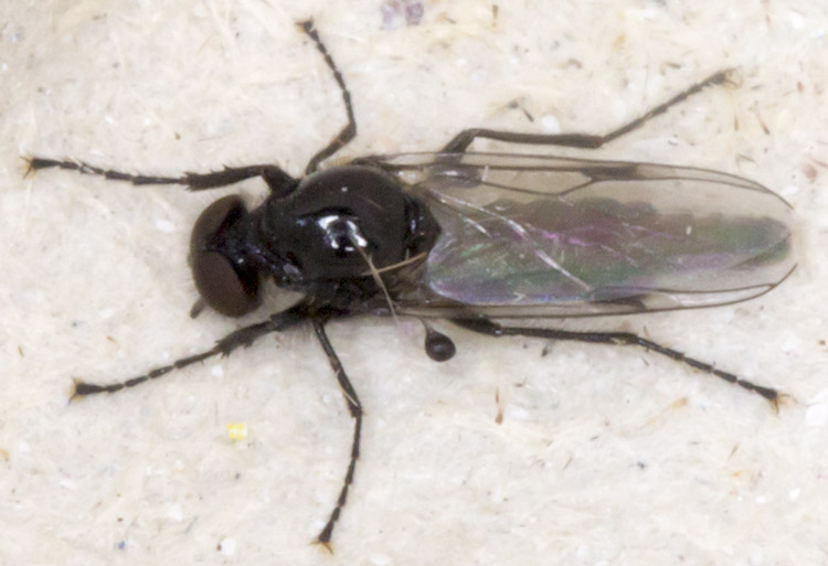 Fly, Dilophus species.  Fever Fly.  In my garden light trap in Hayes on 25 October 2014.