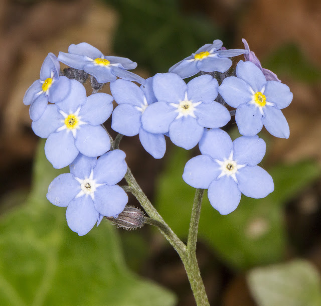 Wood Forget-me-not, Myosotis sylvatica.  The Knoll, Hayes, 10 May 2015.