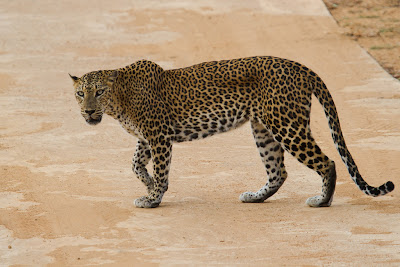 Female Leopard crosses the road - Yala, Sri Lanka