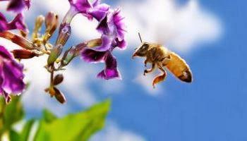пчёлы обладают врождённым предпочтением к фиолетовым и сине-зелёным цветам.
