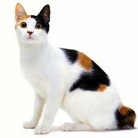 kucing jantan belang 3